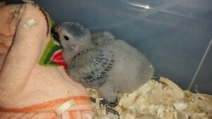 Baby African Greys with starter cage