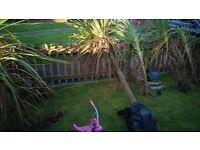 Palm tree 5ft