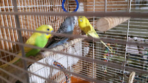 Budgies for sale  $12 each