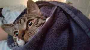 Tabby Kitten (Male) - Free to a Good Home  London Ontario image 4