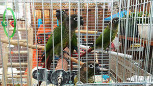 2 months hand raised conure for sale