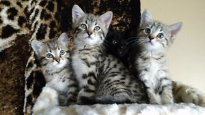 chatons mauegyptien