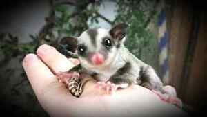Sugar Glider babies and adults