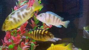 Beautiful African cichlid