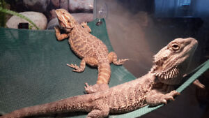 Male and Female Breaded Dragons