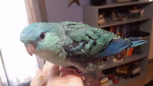 ❤** Hand Tamed Linnies with Cage **❤