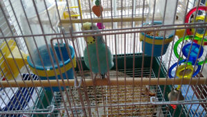 FREE - Budgie with Cage and Seed