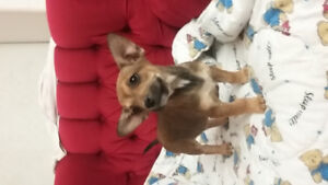 French Bulldog X Chihuahua puppies   ALL  SOLD