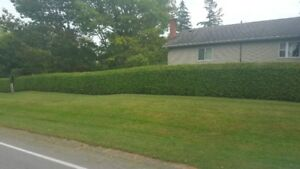 FALL BOOKING WHITE CEDAR HEDGES FOR SALE REMOVED AND INSTALLED