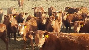 75 Red Angus Replacement Heifers