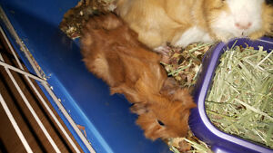2 male baby guinea pigs ready for their forever home