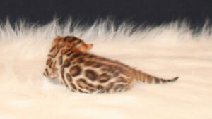 Chatons Bengals Exotiques / Exotics Bengals Kittens