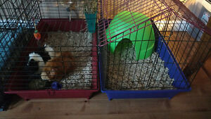 Two male Guinea Pigs