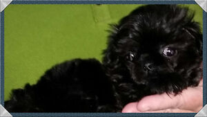Petite Female Shih Tzu Puppy ~ Black With White