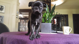 Bug (Pug x Boston Terrier) 850$