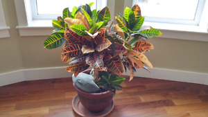 Big croton plant. Leathery leaves with exotic colorful marking