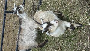 Miniature Goat