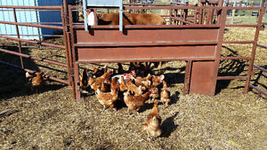 Laying hens flock reduction