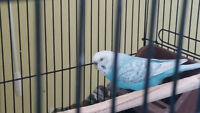 Sweet little budgie free to good home