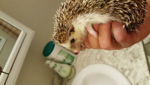 Male hedgehog 2 years old. Comes with everything you need.