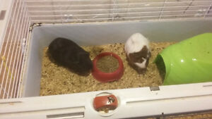 2 guinea pigs to give away
