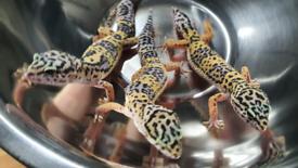 🦎 CBD 21 Female Leopard Geckos