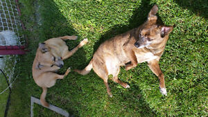 Adult chihuahua cross dogs to rehome