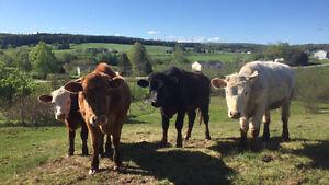 Beef Steers