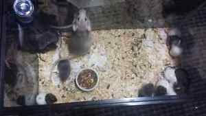 Pure Bred Dumbo Rats for Purchase