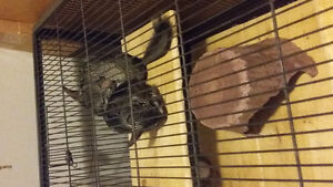 Brother chinchillas in need of new home 140 o.b.o