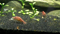 Cherry Shrimp