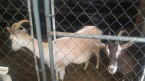 I have two Nanny Goat's for sale