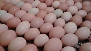 HATCHING CHICKEN EGGS FOR SALE COLORFUL