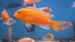Red Zebra and Yellow Lab Cichlids