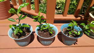 Orange trees, organic, grown from seed.