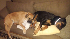 Purebred Rottweiler & Boxer-Rotti Cross to a good home.