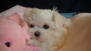 MALTESE PUPPIES - CKC REGISTERED