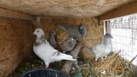 Young pigeons