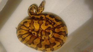 ball python-fire, super pastel, yellowbelly