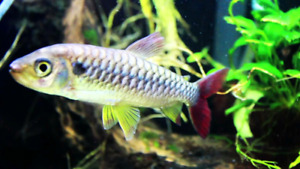 Filament barb and pink tail charchin for sale