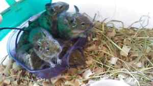 6 degus for sale