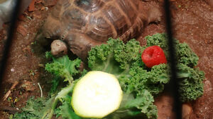 3 year old Greek tortoise + enclosure with everything you need