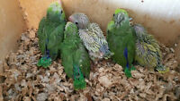 Baby Parrotlets for sale starting at $100 each