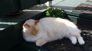 RECOVERED CAT NAP - our lost Big Beautiful White Cat  is home!