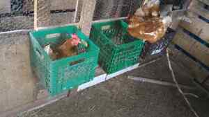 Hens and roosters for sale