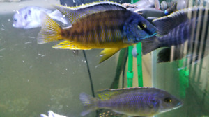 5 inch blue gold peacock $40
