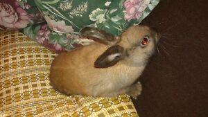 Lapin mâle croisement entre Rex et lapin nain