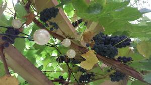 Grapes ready to pick