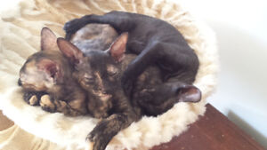 4 petit chatons cornish rex
