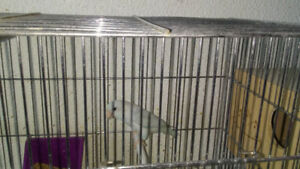 Toui Celeste white pastel   (female) very rare and in very good